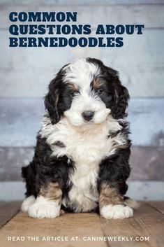 Bernedoodle Dog Breed Info: Bernese Mountain Dog Poodle Mix Do you want to know more about Bernedoodles? Check this post to find answers to some of the most commonly asked questions about this cool dog breed. Tiny Dog Breeds, Dog Breeds Little, Large Dog Breeds, Best Dog Breeds, Doodle Dog Breeds, Bernese Mountain Dog Poodle, Mountain Dogs, Big Dogs, Cute Dogs