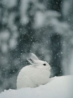 Snow Falls on a Snowshoe Hare in its Winter Coat.