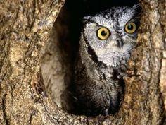 Búho escondido en el hueco del árbol