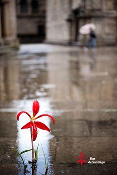 La Flor de Santiago en la Praza da Quintana. Santiago de Compostela.