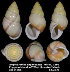 Dr. Lee's Gallery Museum: Amphidromus enganoensis 52.2mm
