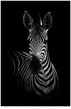 Wildphotoart 'The Zebra' Canvas Art - 30 x 2 x 47 - Black and white - Art Zebra Painting, Zebra Art, Painting On Black Canvas, Zebra Drawing, Spray Painting, Animals Black And White, Black And White Canvas, Black Paper, Zebra Kunst