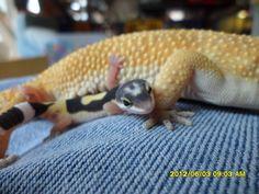Baby Leopard gecko next to her dad