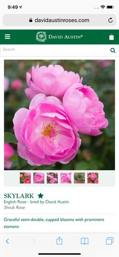 Shrub Roses, David Austin, English Roses, Shrubs, Bloom, Flowers, Plants, Shrub, Plant