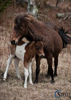 Mom and Foal  - Wild Ponies Virginia