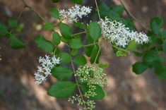 Chinese privet http://www.walterreeves.com/gardening-q-and-a/privet-control/