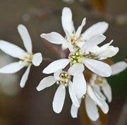 1- Amelanchier x grandiflora 'Ballerina'