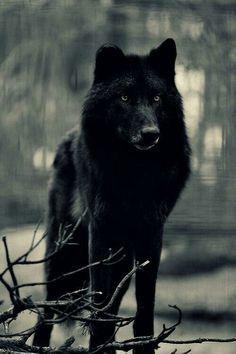 Black wolf#4
