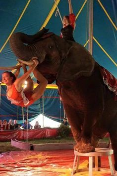 Nosey The Circus Elephant Back In The Lime Light The saga of Nosey the Circus Elephant is back in the limelight, with dissident voices getting louder. Despite nearly 200 animal welfare violations, the U.S. Department of Agriculture (USDA) has recently renewed Hugo Liebel's license, so the ailing animal can be exploited for human entertainment.
