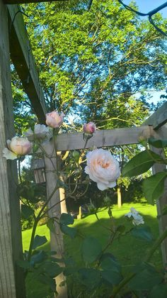 Englische Rose in A-Qualit/ät Wurzelware Evelyn R-