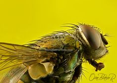 Lucilia cuprina golden blow-fly costa rica