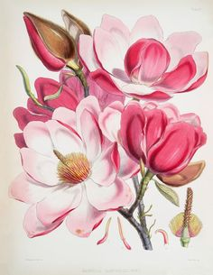Pink Magnolias Printable (free, full size pdf available from the Graphics Fairy).
