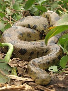 La Anaconda, supera en peso a la pitón reticulada del Asia la cual es más larga que la anaconda. La Anaconda come caimanes, chiguiros y hasta jaguares. Su ataque es rápido y atrapa las presas con sus cuatro filas de dientes dirigidos hacia adentro. Su mandíbula se ensancha hasta alcanzar el tamaño de su presa para tragársela entera. Reposa durante días o semanas para hacer la digestión.