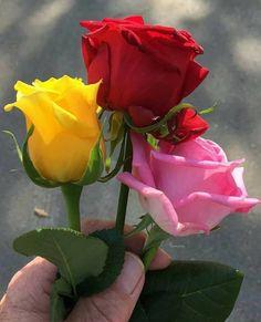 Tare liye apni jaan bhi derti do. Per tu muje meri terha pyar tu ker. Morning Rose, Good Morning Flowers, Yellow Roses, Red Roses, Good Day Sunshine, Rose Pictures, Giant Paper Flowers, Good Morning Greetings, Flower Wallpaper