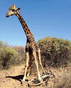 Good luck getting your bike mate! #southafrica #wildlife #giraffestealingbicycles - Enjoy the Shit South Africans Say! #CapeTown #africa #comedy #humor #braai #afrikaans