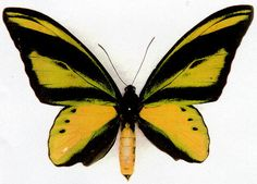 Schoenbergia (Ornithoptera) chimaera chimaera - male with gold spots in radial band - 33kB