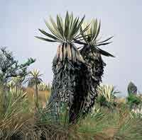 Frailejón, Espeletia grandiflora.