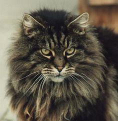 Long Haired Cat :  reminds me if my Tatiana! Beautiful:  looks like a miniature lion.