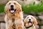 two golden retrievers sitting together