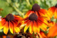 Pétalas acobreadas<br /><br />A mistura de amarelo, laranja e vermelho das pétalas da Rudbeckia hirta 'Autumn Colors' faz a diferença nos jardins durante o verão e o outono, época em que as flores da espécie despontam em grande quantidade. Similares às das margaridas e girassóis - todas contam com um cone central marrom-escuro, de onde surgem as pétalas -, as flores desse híbrido medem até 17 cm de diâmetro e proporcionam uma linda florada que pode ser cultivada em vasos, em canteiros…