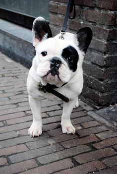 Such a sweet face! #frenchie