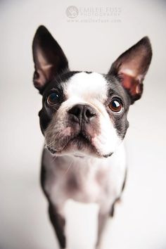 Reese the Boston Terrier by Emilee Fuss Photography