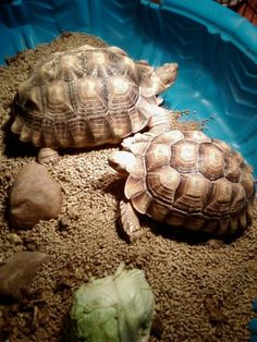 Another pinner says: Tortoise - mine is called Skillie! Tortoise As Pets, Tortoise Food, Sulcata Tortoise, Tortoise Care, Tortoise Turtle, Tortoise House, Land Turtles, Water Turtles, Crocodile