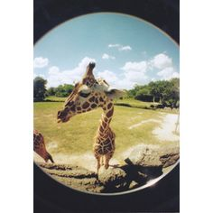 giraffe | Tumblr - Polyvore