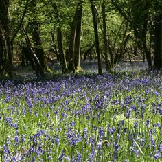 Beautiful Bluebells in the New Forest - Hampshire