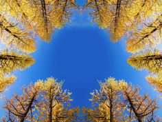 Larches Reflection A reflection image of larches in early winter in Washington State. reflection mirror valley larch larches winter Washington State Pacific Northwest hike hiking wilderness outside PNW outdoors explore mountain mountains view views quest live authentic outbound trees love beautiful happy fun art smile style amazing cool awesome adventure snow winter