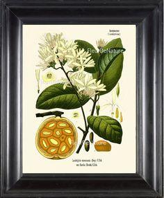 BOTANICAL PRINT Kohler 8x10 Botanical Art Print by FleurDeNature