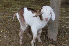 newborn mini nubian goat