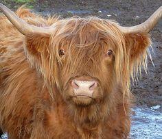 Highland Cow Painting Original Canvas by M James Scottish Farm Animal Art Scottish Highland Cow, Highland Cattle, Farm Animals, Animals And Pets, Cute Animals, Beautiful Creatures, Animals Beautiful, Highland Cow Painting, Fluffy Cows