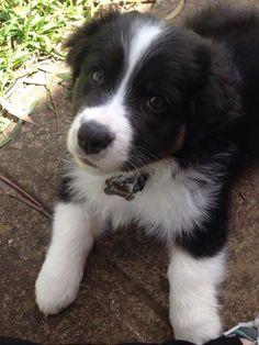 Astounding Border Collie Dog Tips Ideas Cute Puppies, Cute Dogs, Dogs And Puppies, Doggies, Border Collie Puppies, Collie Dog, West Highland Terrier, Australian Shepherds, Herding Dogs