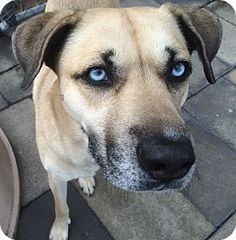 Husky/Labrador Retriever Mix up for adoption at the Humane Society of New York.