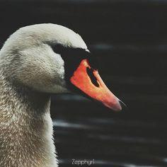 Reposting @zepphyr1: 🕊 #nature #swan #dark #white #animal #white #photographyeveryday #photolovers #lovephotography #dailyphoto #photowall #photographysouls #photographyislifee #wallpaper #nikon #nikonphotography #followme #travel #traveler #travellife #minialism #photoart #orange #blackandwhite #moodygrams #life #art #pet #whiteswan