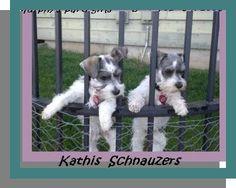 Schnauzers---sweetest little dogs in thw world!