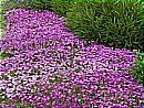 Delosperma cooperi      Thrives in intense heat & drought     100's of large pink-purple flowers all summer     Deer won't touch this colorf...