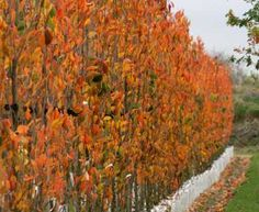 1000 Images About Columnar Trees On Pinterest Trees Growing Tree And Prunus