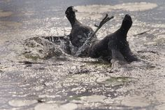 Coot Fight Canon 1DX 600 mm lens ISO 1250 Shutter Speed 1000 F 10