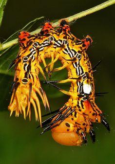 Notodontid Moth Caterpillar (Dudusa sp., Notodontidae) - Beijing, China