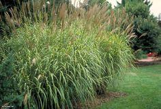 Maiden Grass (Miscanthus sinensis 'Zebrinus')