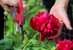 Peony Pruning: Is Pruning Of Peony Necessary? - Pruning peonies is easy, and they often require no pruning at all. So how do you know when to trim peonies? Read this article to find out more about when and how to prune a peony. Peony Bush, Peony Flower, Cactus Flower, Large Flowers, Cut Flowers, Purple Flowers, Lawn And Garden, Garden Tools, Container Gardening