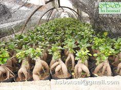 ginseng nitida Ficus Ginseng Bonsai, Garden, Plants, Garten, Lawn And Garden, Gardens, Plant, Gardening, Outdoor