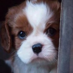 Adorable King Charles Cavalier pup