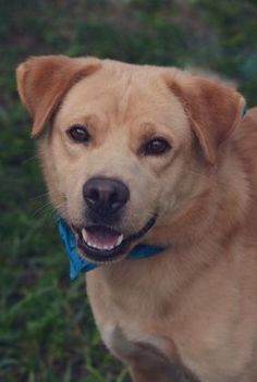 Chandler - 3 year old male Golden Retriever Mix, 45 pounds I'm such a lucky boy to have the face of a forever puppy that everyone loves! I am so happy that I was saved from a high kill shelter in NC. I am still a young boy with a lot of energy so I would really love an active family that has time to teach me how to be a gentleman.
