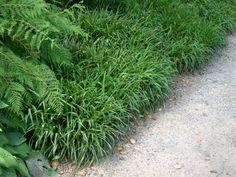 Wald Simse - Luzula sylvatica - auch für Schatten bis Halbschatten