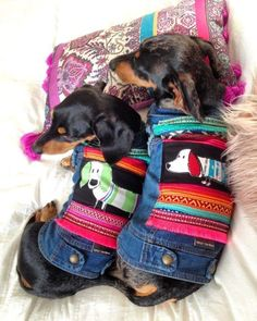 Dachshunds in jackets!