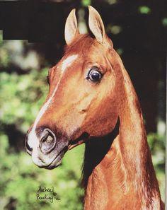 American Saddlebred leading sire, Supreme Heir