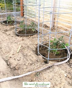 why havent i heard of these things? cages, watering, and different kinds of tomatoes.